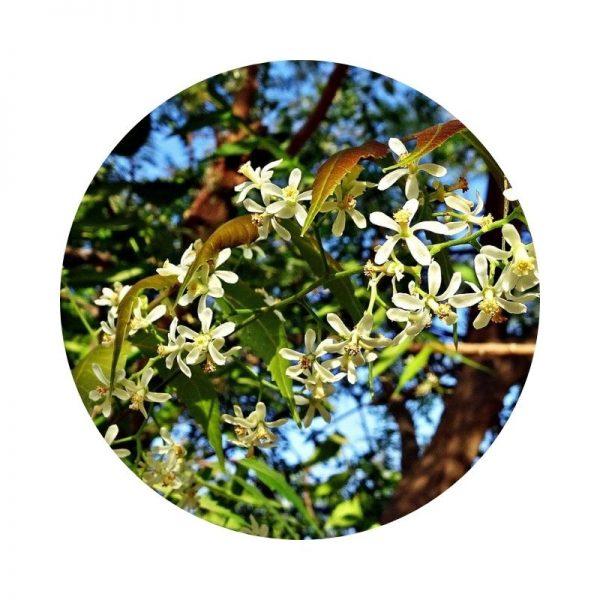 para qué sirve el neem