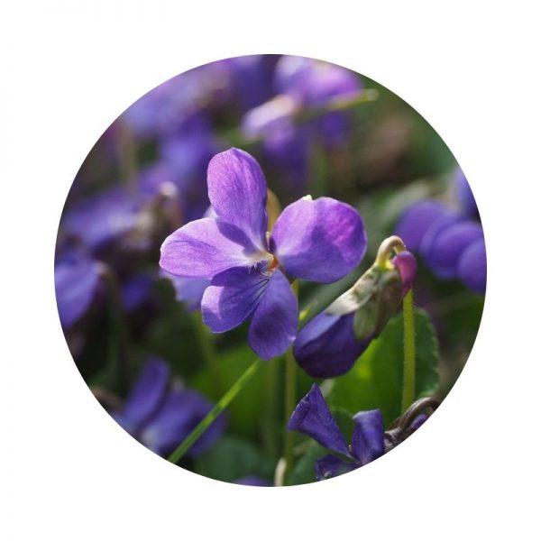 para qué sirve la violeta de jardín