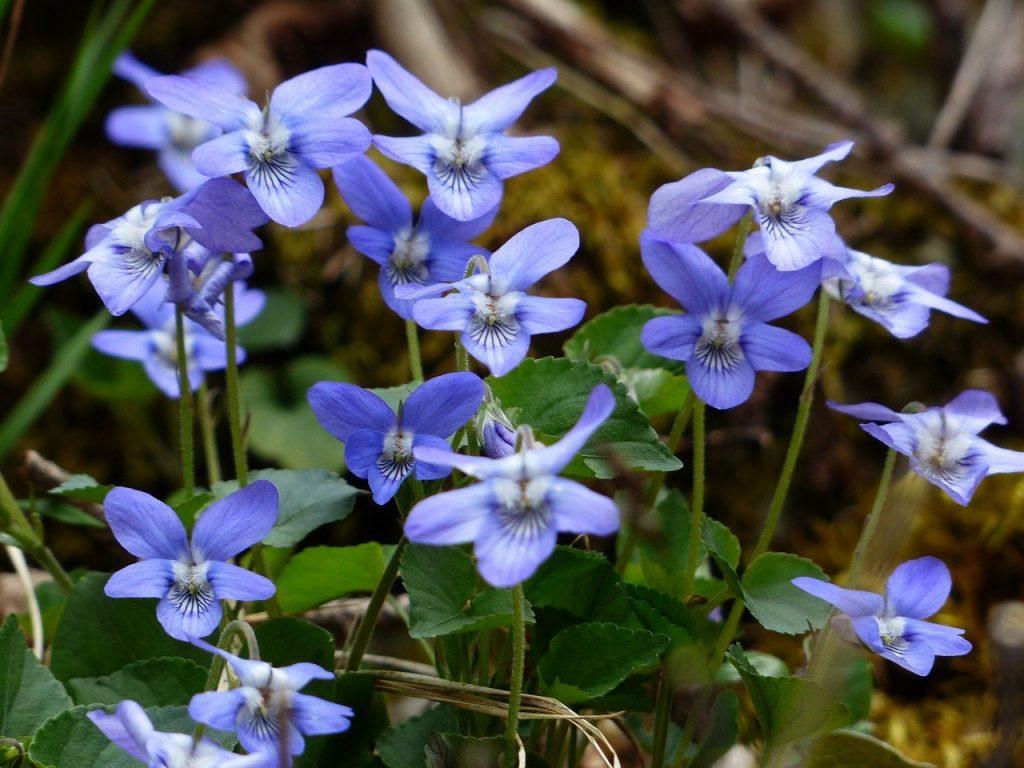beneficios de la violeta de jardín