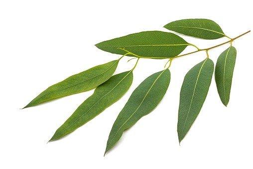 para qué sirve el eucalipto