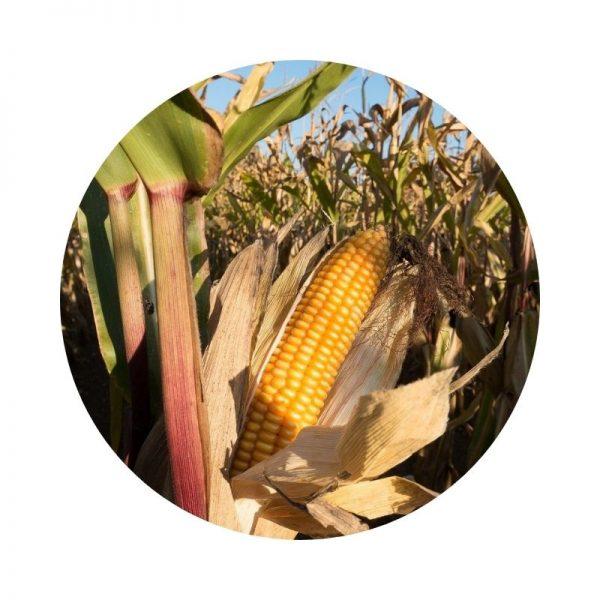 para qué sirve el pelo de maíz