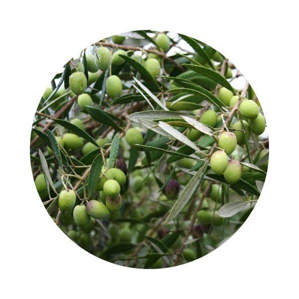 para qué sirve el olivo