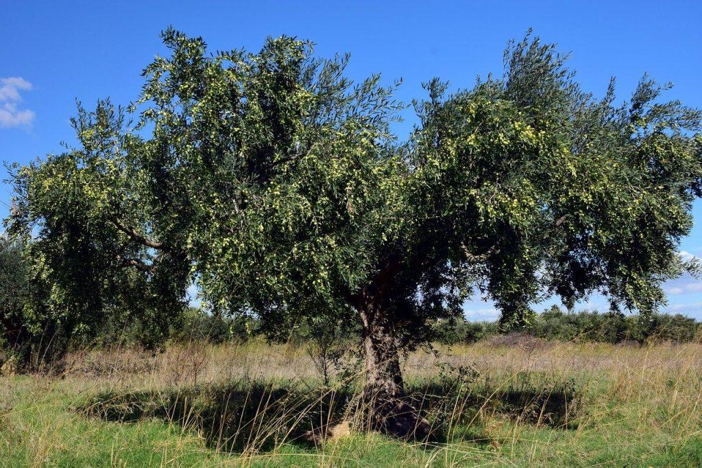 beneficios del olivo