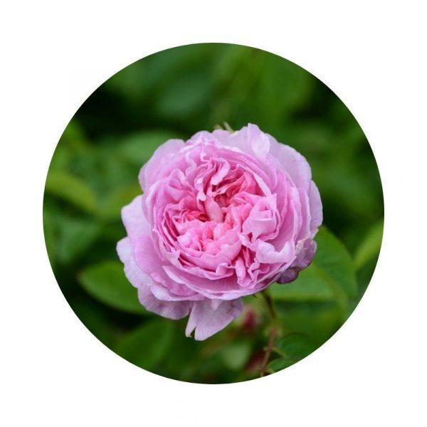para qué sirve la rosa de castilla