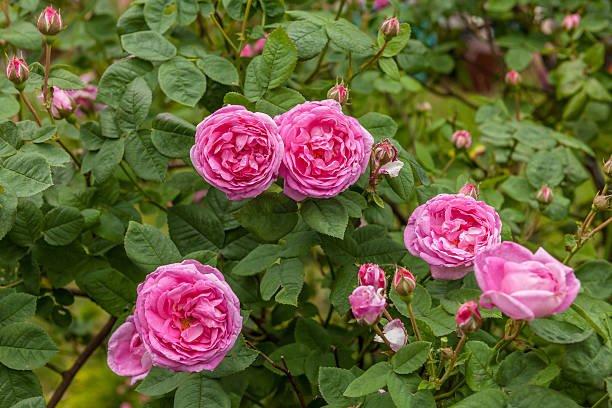 beneficios de la rosa de castilla