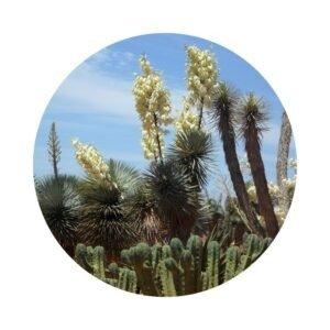 para qué sirve la yucca