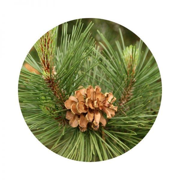 para qué sirve el pino silvestre