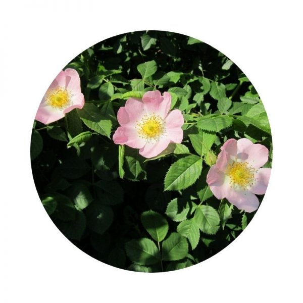 para qué sirve el rosal silvestre